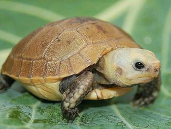Elongated Tortoises for sale