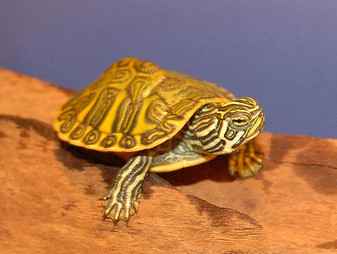 Florida Red Bellied Turtles - Hatchlings for sale