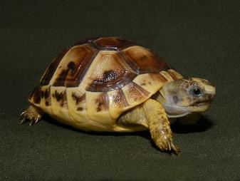 Greek Tortoises - Normal Coloreds for sale
