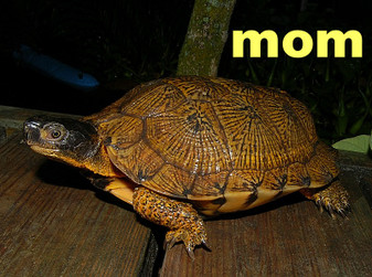 High Yellow North American Wood Turtles for sale