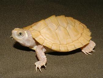 Leucistic Mississippi Map Turtles for sale