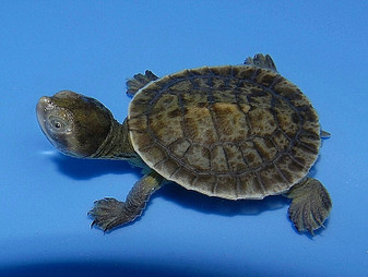 Macleay River Turtles for sale
