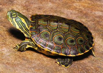 Mexican Ornate Sliders for sale