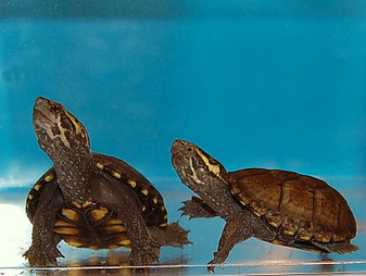 Mississippi Red Bellied Mud Turtles for sale