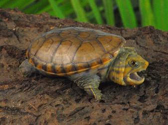 Narrow Bridged Musk Turtles for sale