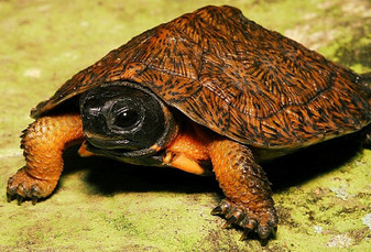 North American Wood Turtles for sale