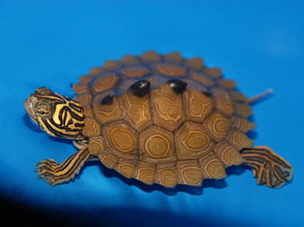 Northern Black Knobbed Map Turtles for sale