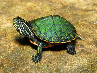 Northern Red Bellied Turtles for sale