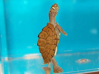 Best Ouachita Map Turtles