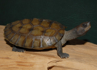 Painted River Terrapins for sale