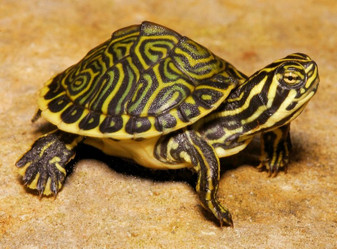 Peninsula Cooters for sale