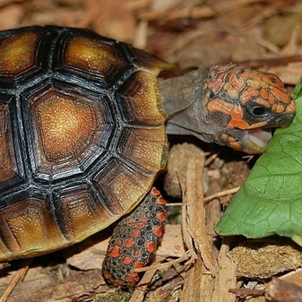 Red Footed Tortoise  Juvenile By The Turtle Source