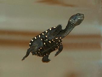 Reimann'S Snake Necked Turtles for sale