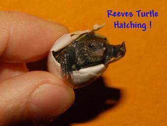 Reeves Turtles for sale