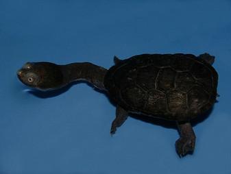 Siebenrock'S Snake Necked Turtles for sale