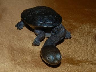 Best Siebenrock'S Snake Necked Turtles for sale