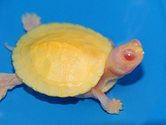 Snow Albino Red Eared Sliders for sale
