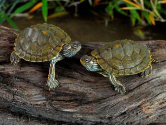Texas Map Turtles basking on a log