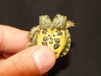 Two Headed Red Eared Sliders for sale