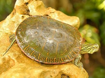 Western Painted Pond Turtle sitting atop a rock and ready to jump into a pond