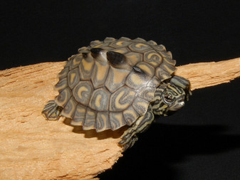 Yellow Blotched Map Turtles for sale