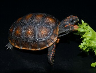 Black Red Footed Tortoises for sale