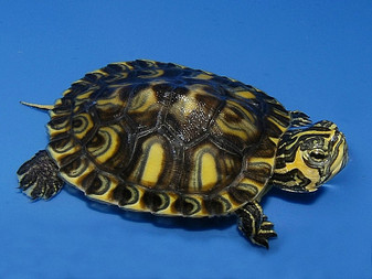 Calico Yellow Bellied Sliders for sale