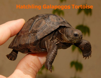 Galapagos Island Tortoises for sale