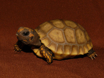 Golden Yellow Footed Tortoises for sale