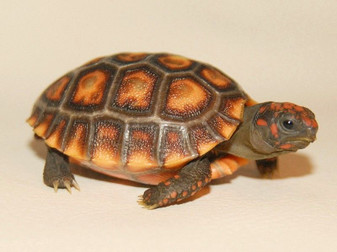 High Colored Cherry Head Red Footed Tortoises for sale