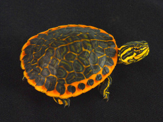 High Colored Florida Chicken Turtles for sale