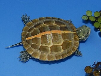 High Colored Southern Painted Turtles for sale