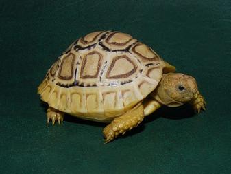 High White Leopard Tortoises for sale