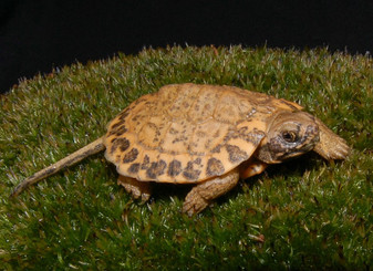 Hypo Pastel North American Wood Turtles for sale