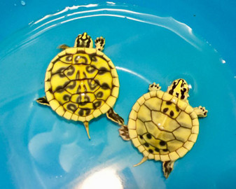 Hypo Pastel Peninsula Cooters