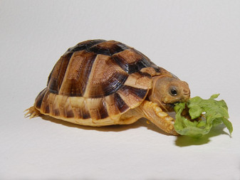 Kleinman'S Tortoises for sale