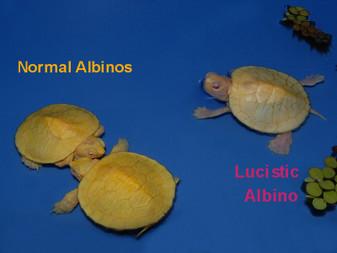 Leucistic Albino Red Eared Sliders for sale