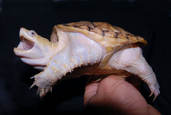 Leucistic Common Snapping Turtles for sale