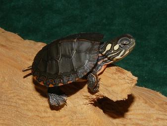 Midland Painted Turtles for sale