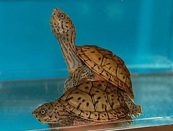 Razorback Musk Turtles for sale