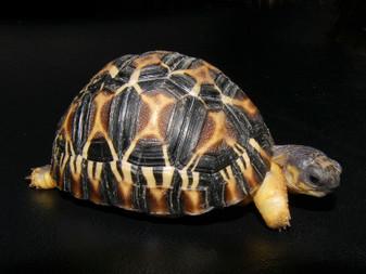 Radiated Tortoises for sale