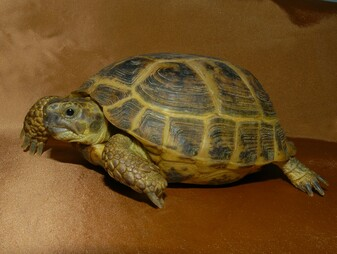 Russian Tortoises - Adults for sale