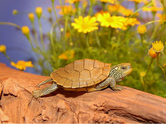 The Common Map Turtles for sale