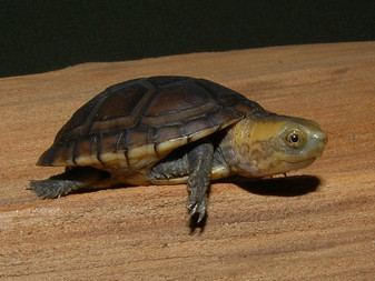 White Lipped Mud Turtles