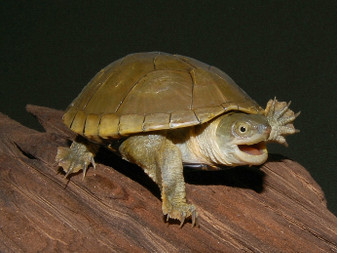 Yellow Mud Turtles - Hatchlings And Yearlings for sale