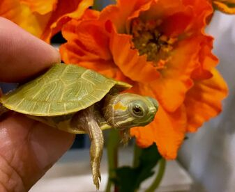 Lime green Albino Red Eared Sliders The Turtle Source
