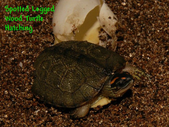 Best Spotted-Legged Wood Turtles For Sale