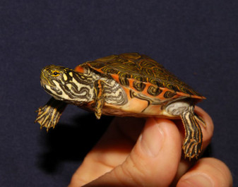 Best Rio Grand Cooters For Sale