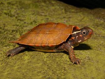 Best Vietmanese Wood Turtles