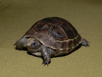 Best Black Greek Tortoises
